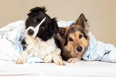 Yes, Big Dogs Can Make the Best Apartment Dogs -Here's How