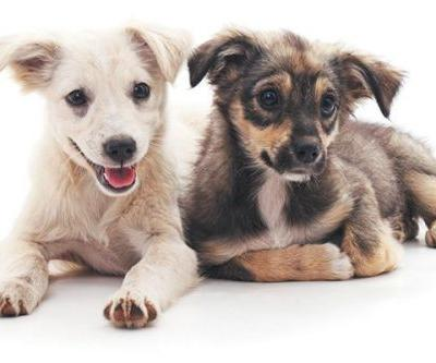A Guide for Introducing Dogs to Puppies