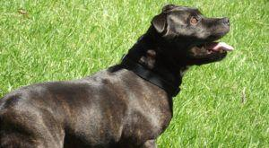 Improve Your Staffordshire Bull Terrier's Skin & Coat With This One Simple Hack