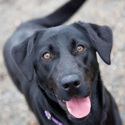 """""""FROLIC"""" young playful black Lab"""