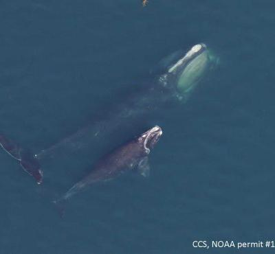 Rare baby whale seen in Cape Cod Bay for first time in '19