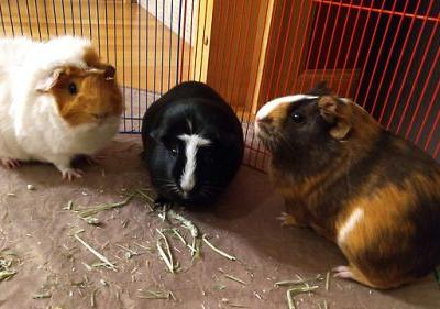 I always wanted guinea pigs when I was a little