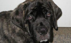 80% of Mastiffs Over 8 Have This Painful Issue, But Hide It From Their Owners