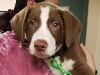 """""""RUFUS"""" cute active Border Collie mix Puppy"""