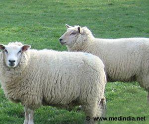 World's Oldest Semen Sample Used To Impregnate 34 Sheep