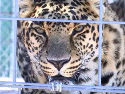 Tiger & big cat preserve expands with new tours, seeking donations
