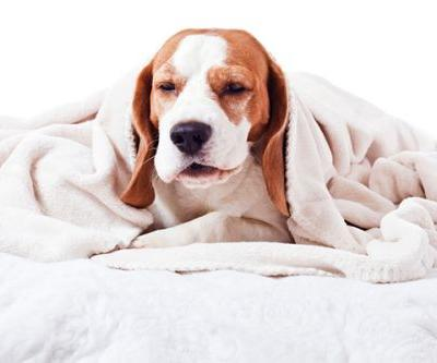 Reverse Sneezing in Dogs -What Is It?