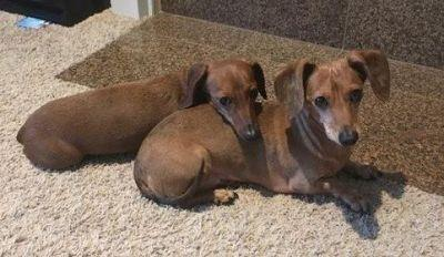 Cute Pair of Dachshunds Would Love to Be Part of Your Home