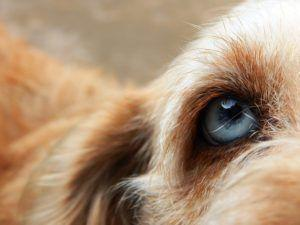 """Oriental Eye Worm"" Is Becoming Increasingly Widespread In Dogs In Europe"