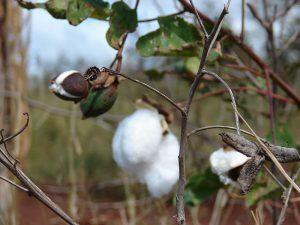 Iso-Seq Analysis of Polyploid Cotton Yields Important Discoveries for Fiber Breeding