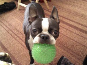 3 Tips To Teach Your Boston Terrier To Play F