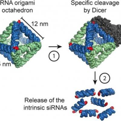 An RNA Origami Octahedron with Intrinsic siRNAs for Potent Gene Knockdown