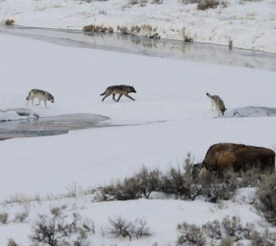 Open season for wolves across the lower 48? Time and science will tell