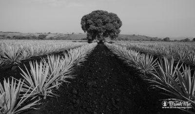 Exceptional Tequila. Exceptional Soil: The Harvesting of Casa Dragones