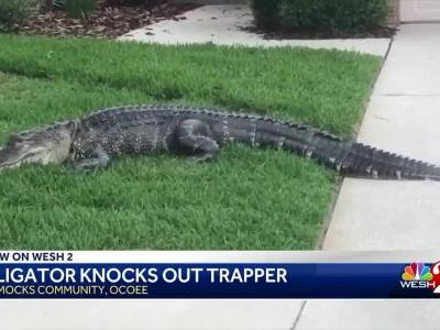 ​Alligator caught on camera knocking trapper unconscious​ in Florida