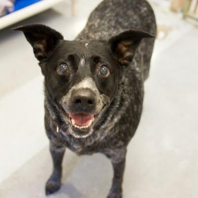 """KAYTO"" good hearted Cattle dog"