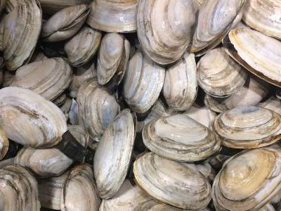 Harvest of clams continues to dwindle in New England