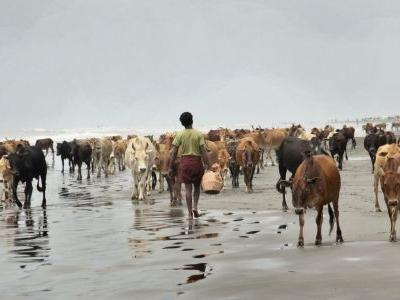 Cattle from abandoned Rohingya villages sold to displaced