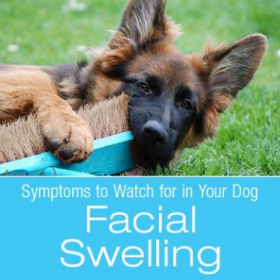 Symptoms to Watch for in Your Dog: Facial Swelling