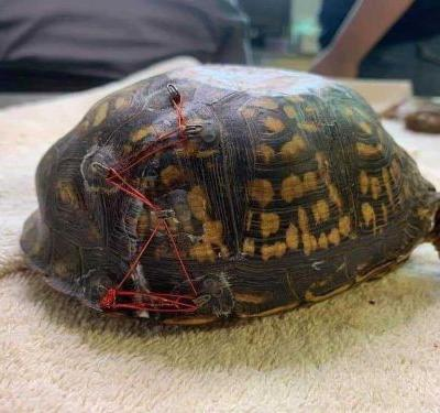 Animal rescue group repurposes discarded bras to help injured turtles