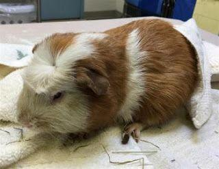 """TIMBER"" guinea pig"