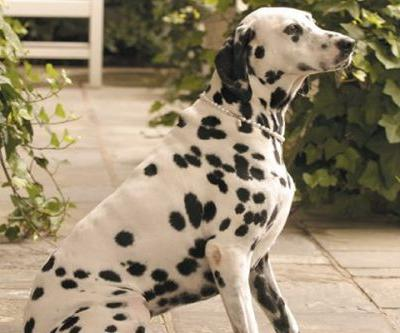 The Inn at Little Washington Greets Guests With Resident Dalmatians