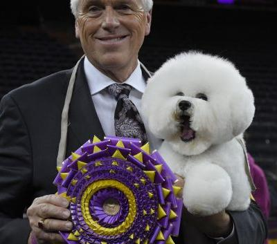 Look at the fluffy bichon frise who just won the Westminster Dog Show