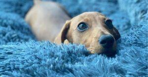 Dog Rushes Home Each Day To Crawl Into His Comfy Bed