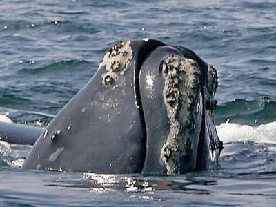 Researchers: North Atlantic Right Whale could be extinct within 20 years