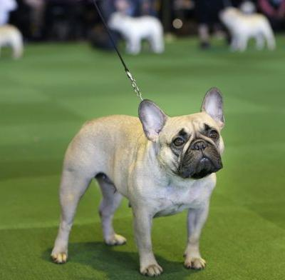 Labs still lead, but French bulldogs leap in popularity in US