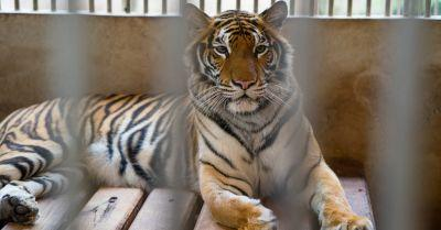 Animal Protection Coalition Opposes Ringling's Bid to Export Endangered, Protected Big Cats