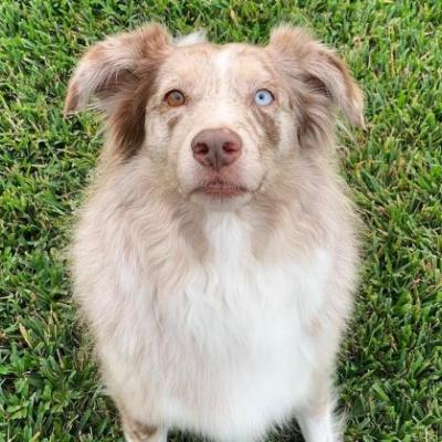 Australian Shepherd Breed Information Guide: Quirks, Pictures, Personality & Facts