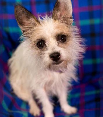 """PIPPI"" funny little terrier mix"