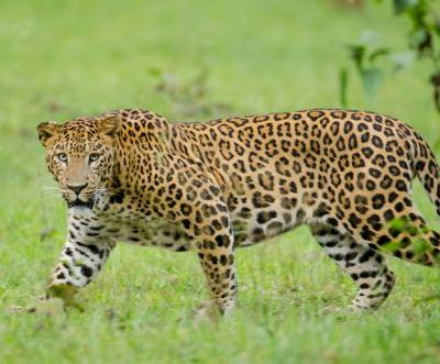 With tigers getting the spotlight, is poaching of leopards increasing in the blind spot?
