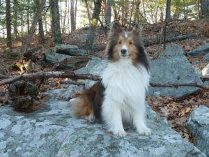How To Teach Your Shetland Sheepdog To Sit & Stay