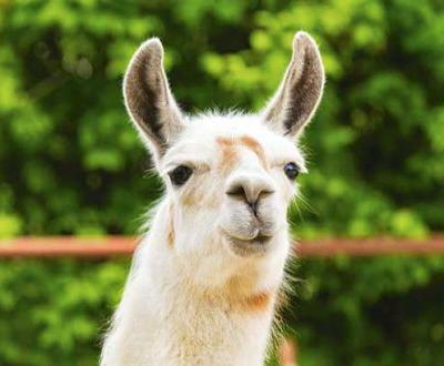 Scientists believe llama antibodies may be the key ingredient for a universal flu vaccine