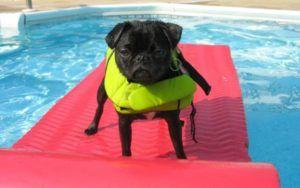 These 12 Dog Breeds Are The Worst Swimmers