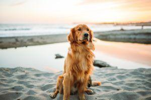 Want a Breed Like A Golden Retriever, But Not Quite? See These 4 Similar Dog Breeds