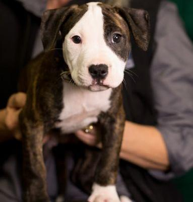 """SHELBY"" adorable baby Pup Pitbull"