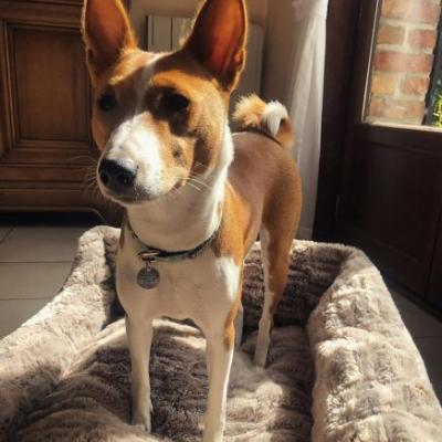 Basenji Breed Information Guide: Quirks, Pictures, Personality & Facts