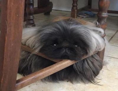 Pekingese Breed Information Guide: Quirks, Pictures, Personality & Facts