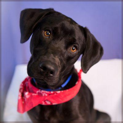 """""""SCARLET"""" active young Black Lab mix"""