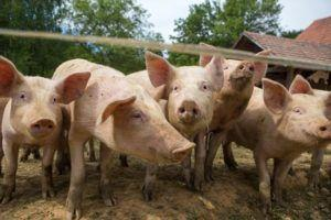 Pork related Hepatitis E in England - could it happen in United States?