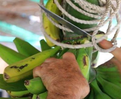 Green banana flour: A powerful new tool in the digestive health toolbox?
