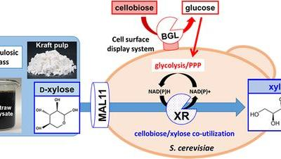 Combined Cell Surface Display of β‐d‐Glucosidase , Maltose Transporter , and Overexpression of Cytosolic Xylose Reductase in Saccharomyces cerevisiae Enhance Cellobiose/Xylose Coutilization for Xylitol Bioproduction from Lignocellulosic Biomass