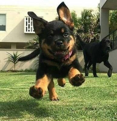 15 Things You Do That Are Unintentionally Breaking Your Rottweiler's Heart