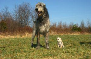 Photos Of Huge Irish Wolfhounds Are Going Viral