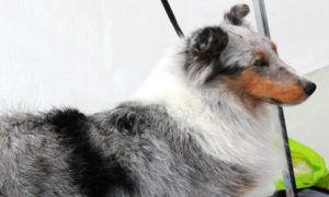 3 Amazing Ways To Honor A Sheltie Who Passed Away