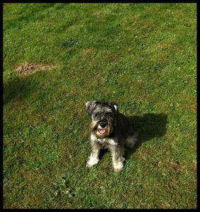 How To Teach Your Schnauzer To Sit & Stay