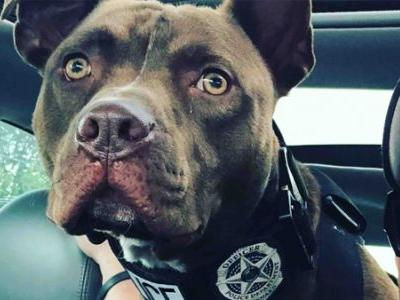 Nearly euthanized pit bull gets second chance as Indiana police dog